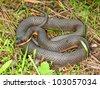Queen Snake (Regina septemvittata) in the Des Plaines River valley of northeastern Illinois - stock photo