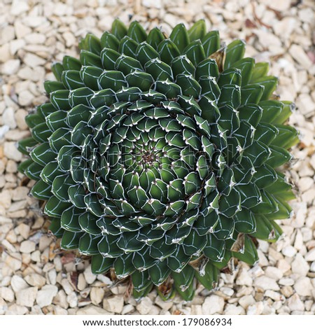 Queen Victoira Agave, Agave victoriae-reginae(Agavaceae) is a small species of succulent flowering perennial plant, noted for its streaks of white on sculptured geometrical leaves - stock photo
