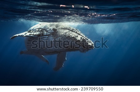 Queen whale. - stock photo
