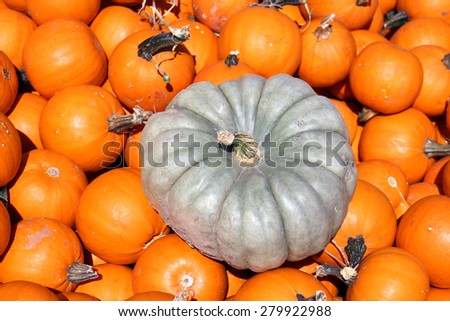 queensland blue squash in many other kinds of squash - stock photo