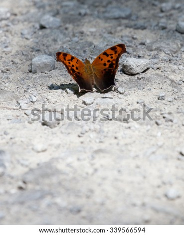 Question Mark Butterfly (Polygonia interrogationis) basking in the sunlight - stock photo
