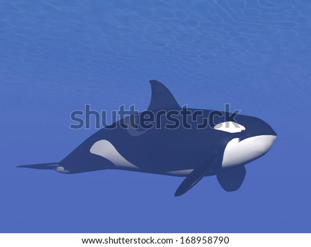 Quiet killer or orca whale (orcinus orca) swimming alone into deep underwater