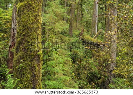 Quinault Rainforest, Olympic National Park, Washington state, USA