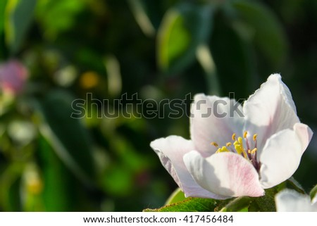 Quince flower blooming around green leaves in sunlight - stock photo