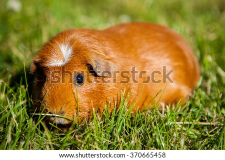 Quinea pig (krested) sitting in the grass - stock photo