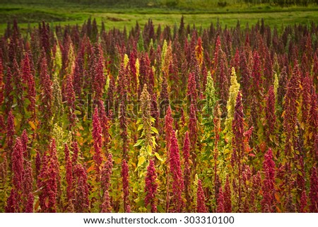 Quinoa plantations in Chimborazo, Ecuador, South America - stock photo