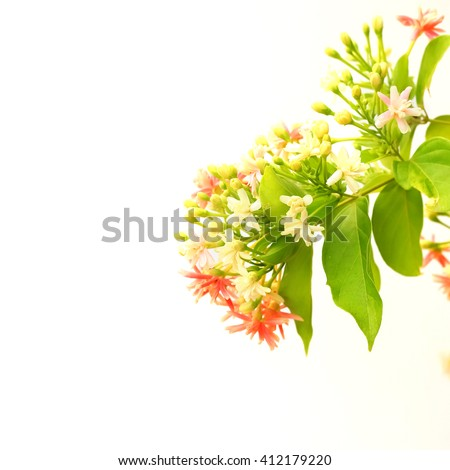 Quisqualis indica also known as the Chinese honeysuckle, Rangoon Creeper, and Combretum indicum isolate on white background. - stock photo