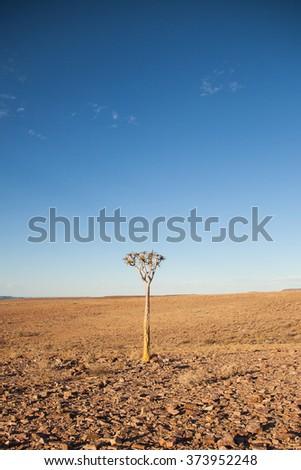 Quiver tree (Aloe dichotoma) in the Desert near Fish River Canyon, Namibia  - stock photo