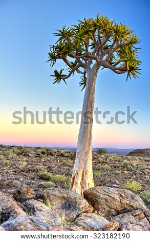 Quiver Tree around the Fish River Canyon, Namibia. - stock photo