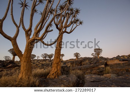 Quiver tree forest on a rocky hill