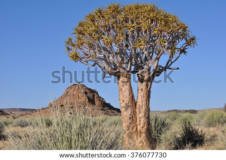 Quiver tree in southern Namibia near Fish River Canyon