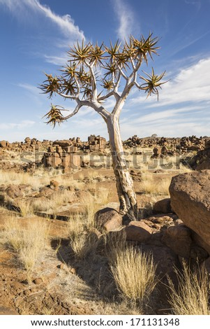 Quiver tree in wilderness area, Karas Region, Namibia, Southern Africa - stock photo
