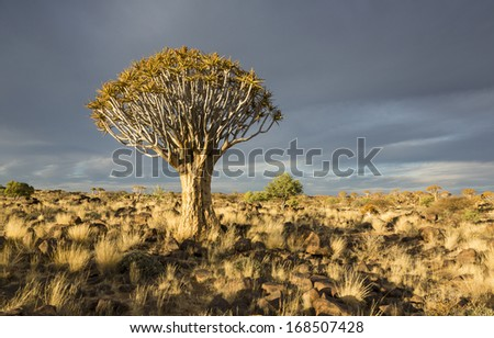 Quiver tree or Aloe dichotoma in bright evening sunlight, Namibia, Southern Africa - stock photo