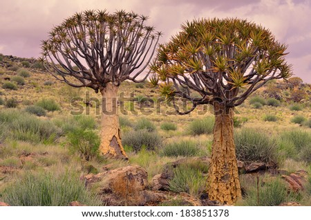 Quiver trees against cloudy sky in South African semi desert area - stock photo