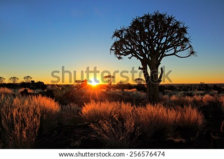Quiver trees (Aloe dichotoma) and golden grasses at sunrise, Namibia - stock photo