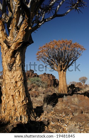 Quiver Trees ( Aloe dichotoma) in Namibia