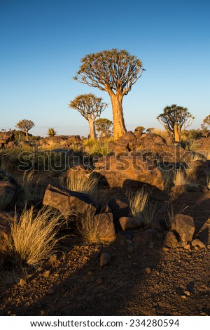 Quivertree Forest at Sunset, Keetmanshoop, Namibia