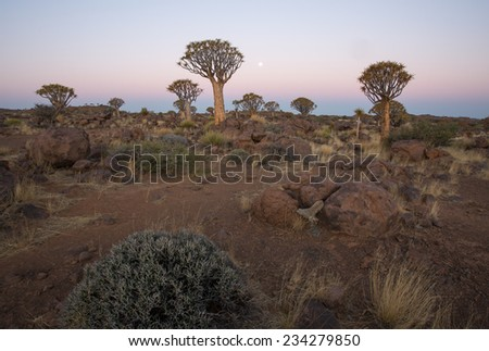 Quivertree Forest at Twilight, Keetmanshoop, Namibia - stock photo