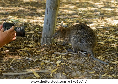 Quokka siting in front of the camera, Is photographed, while photographing, Western Australia, Australia, Rottnest Island