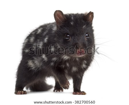 Quoll isolated on white (3 years old)