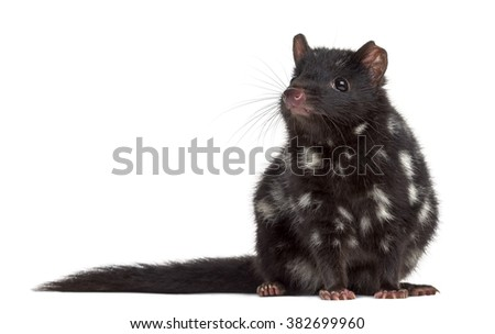 Quoll sitting, isolated on white (3 years old)