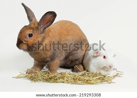 Rabbit and guinea pig eating timothy hay grass over white, Rat and friend. - stock photo