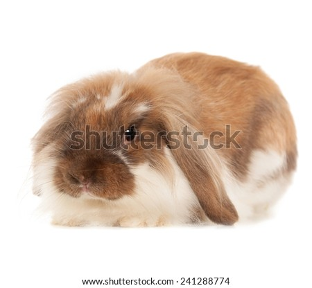 Rabbit Angora breed isolated on white background
