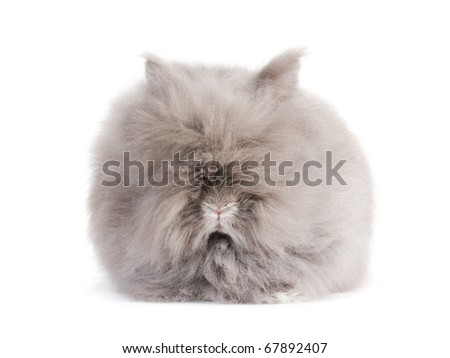 Rabbit Angora breed, isolated on white background.