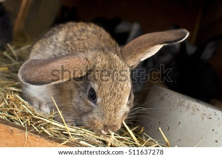 rabbit breeding  in hutch homestead