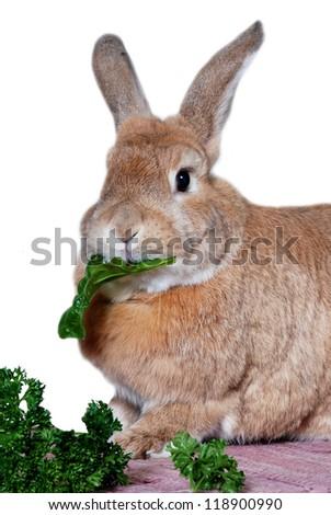 Rabbit eating chard leaf - stock photo