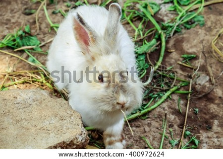 Rabbit eating pangola grass isolated on white