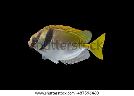Rabbit fish body parts on black background,tropical fish ,colorful spinefoot fish