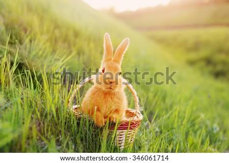 rabbit in basket outdoor - stock photo