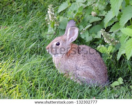 Rabbit in lawn