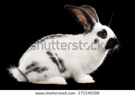 Rabbit isolated on black background