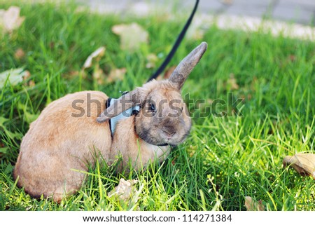rabbit on stroll holded on lead on green grass - stock photo