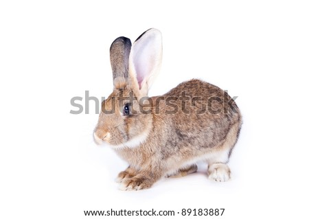 Rabbit on the white isolated