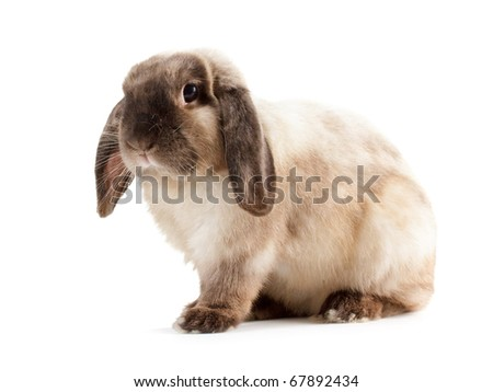 Rabbit Ram breed, siamese color. Isolated on white background.