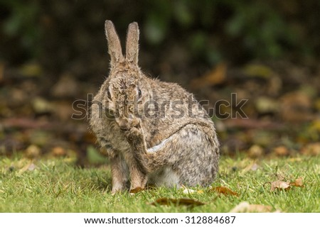 Rabbit sitting on the grass grooming itself