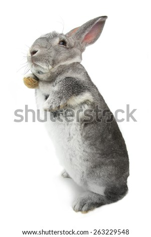 rabbit standing on hinder legs on a white background - stock photo