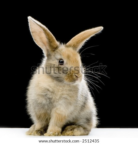 Rabbit watching the camera in front of a black background - stock photo