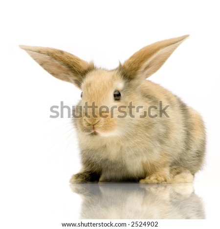 Rabbit watching the camera in front of a white background - stock photo