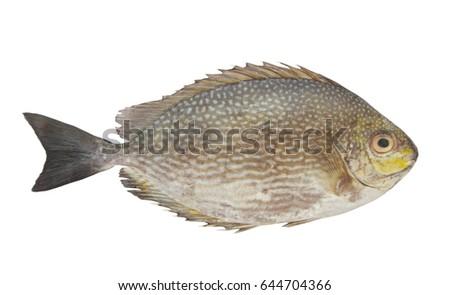 stock-photo-rabbitfish-or-spinefoot-fish