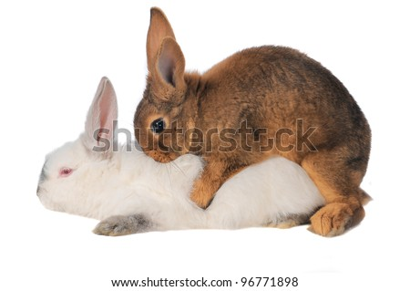 Rabbits are engaged  sex on a white background - stock photo