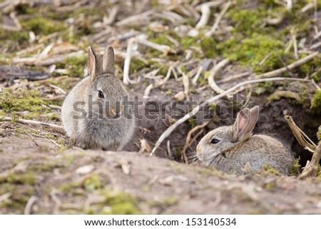 Rabbits at burrow - stock photo