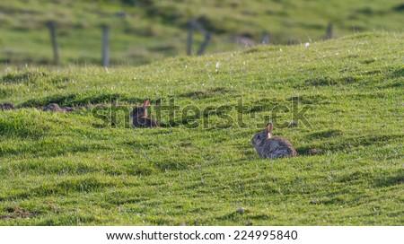 Rabbits on the meadow. Shetland Islands, UK - stock photo