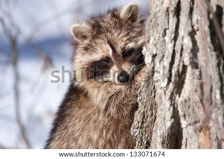 raccoon against tree in winter with snow in the background - stock photo