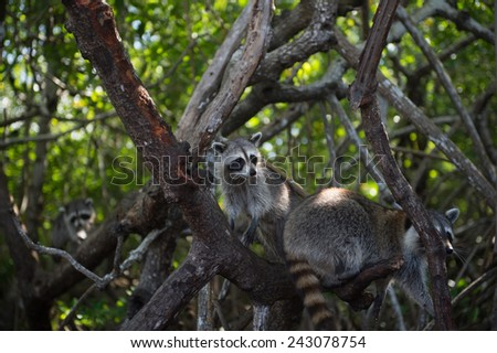 Raccoon at the Everglades National Park, FL, USA - stock photo