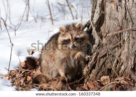 raccoon at tree base in winter with snow in bright sunshine - stock photo
