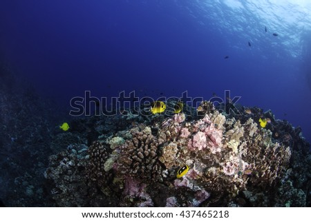 Raccoon butterfly fish swimming on the reef